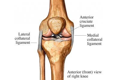 the knee ligaments are the lateral collateral, anterior cruciate, and medial collateral