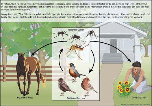 illustration of how the mosquito bite cycle spreads the West Nile virus - info in text below